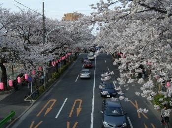 Sakura2008_1