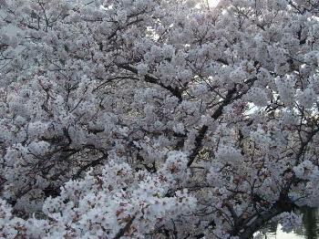 Sakura2008_3