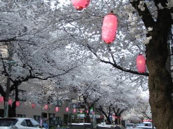 Sakura2008_6