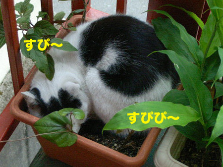 植木鉢ネコ。