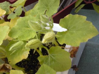 カボチャの花のつぼみ