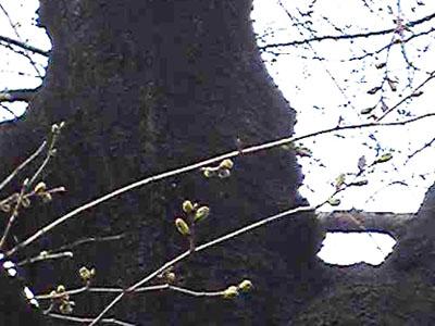 桜並木のつぼみたち