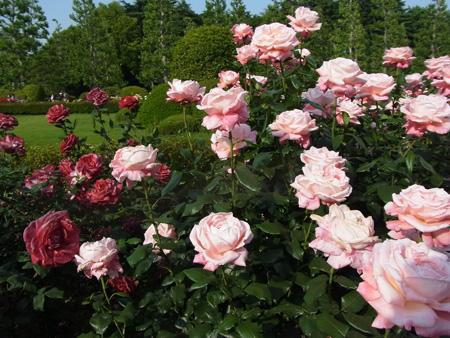 新宿御苑・5月の薔薇