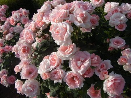 一番可憐な薔薇の名が