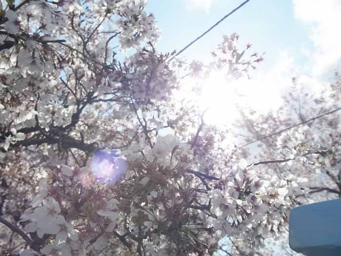 2014年の桜2