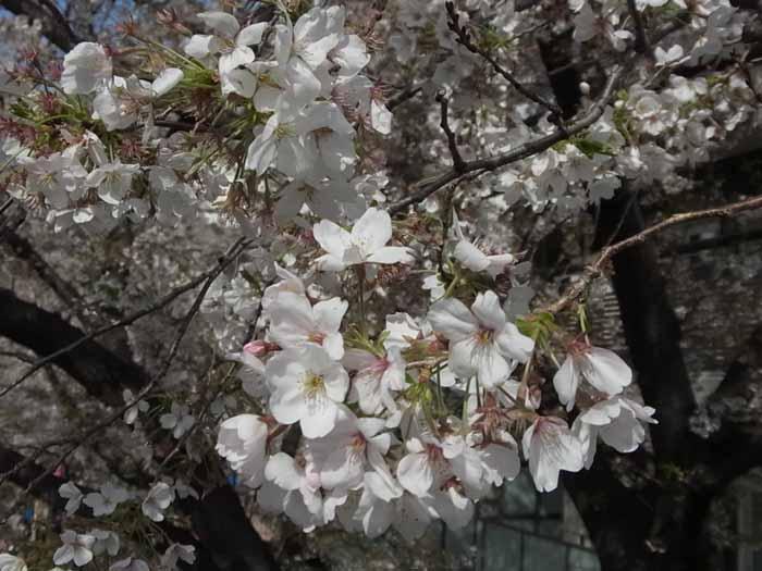 2014年の桜3