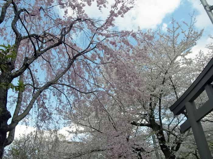 2014年の桜4