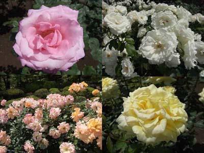 R旧古河庭園の薔薇