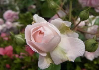 新宿御苑の薔薇5