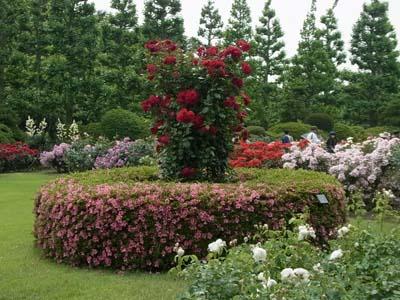 新宿御苑の薔薇7