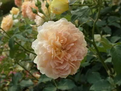 新宿御苑の薔薇3