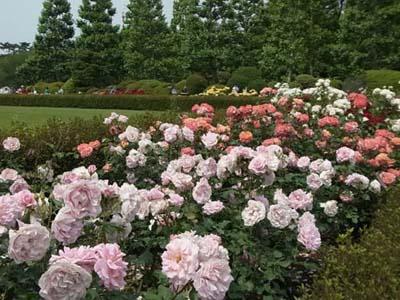 新宿御苑の薔薇9