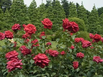 新宿御苑の薔薇4