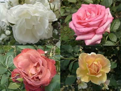 G新宿御苑の薔薇8